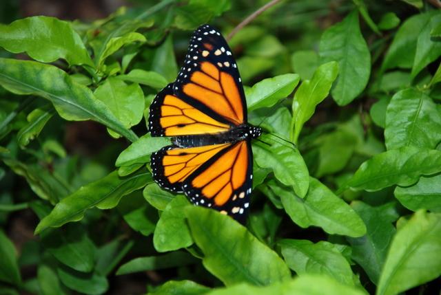 0510_monarch2