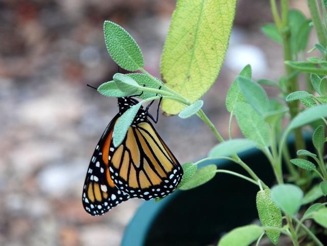 0510_monarch