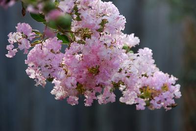 M_floweringtree